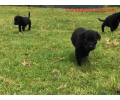 coimbatore - 35days Labrador black puppies