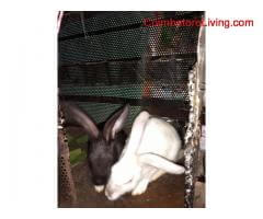 rabbits for sell