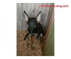 3 Months old German Shepherd puppies for sale