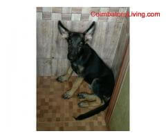 coimbatore - 3 Months old German Shepherd puppies for sale