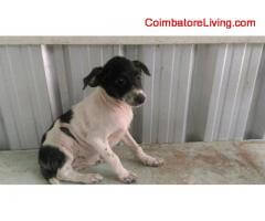 coimbatore - FREE FREE ADOPTION FEMALE COUNTRY PUPPIES