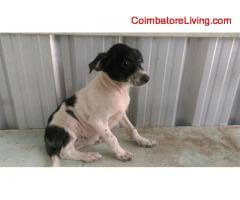 coimbatore - FREE FREE ADOPTION FEMALE COUNTRY PUPPIES - Image 3/4