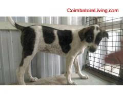 coimbatore - FREE FREE ADOPTION FEMALE COUNTRY PUPPIES - Image 4/4