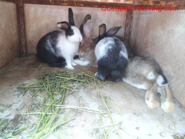 coimbatore - Rabbit bunnies with good health conditions - 1/1