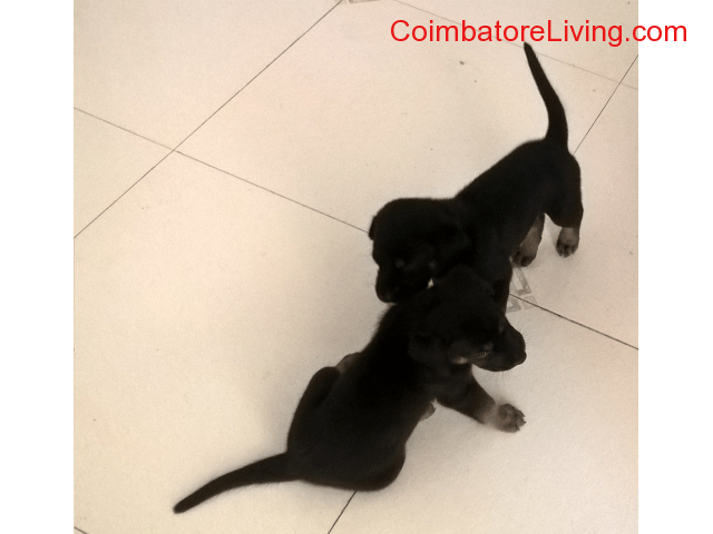 coimbatore - Two black labrador cross puppies for adoption. - 1/1