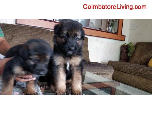 coimbatore - GSD Puppies For Sale - 1/6