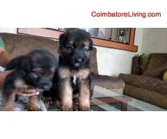 coimbatore - GSD Puppies For Sale