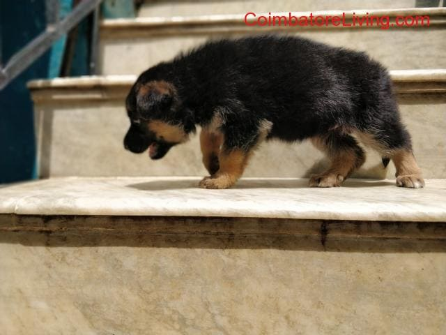 coimbatore - GSD Puppies For Sale - 2/6