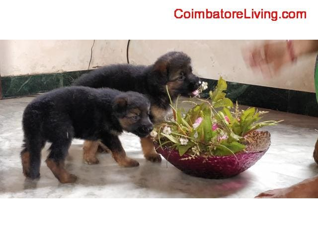 coimbatore - GSD Puppies For Sale - 3/6