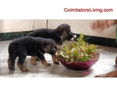 coimbatore - GSD Puppies For Sale - Image 3/6