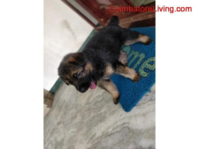 coimbatore - GSD Puppies For Sale - 4/6