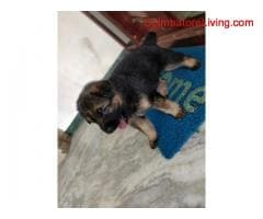 coimbatore - GSD Puppies For Sale - Image 4/6