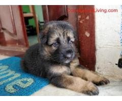 coimbatore - GSD Puppies For Sale - Image 5/6