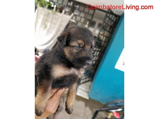 coimbatore - GSD Puppies For Sale - 6/6