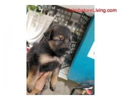 coimbatore - GSD Puppies For Sale - Image 6/6