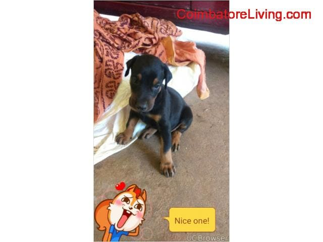 coimbatore - 35days old doberman for sale - 1/1