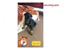 coimbatore -35days old doberman for sale