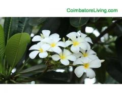 coimbatore - Pink Lotus absolute | White Lotus absolute | Rose absolute | Rose oil
