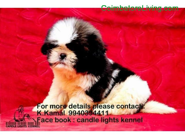 coimbatore - shih tzu puppies for sale in chennai 994039441 - 1/2