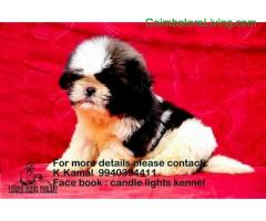 coimbatore - shih tzu puppies for sale in chennai 994039441