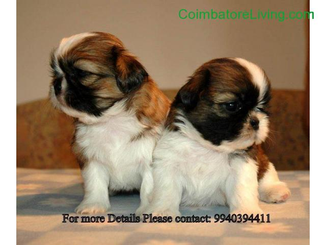 coimbatore - shih tzu puppies for sale in chennai 994039441 - 2/2