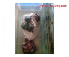 coimbatore - turtles for sale